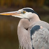 great blue heron, Duke Gardens<br /> best print size - 8x12 or 12x18