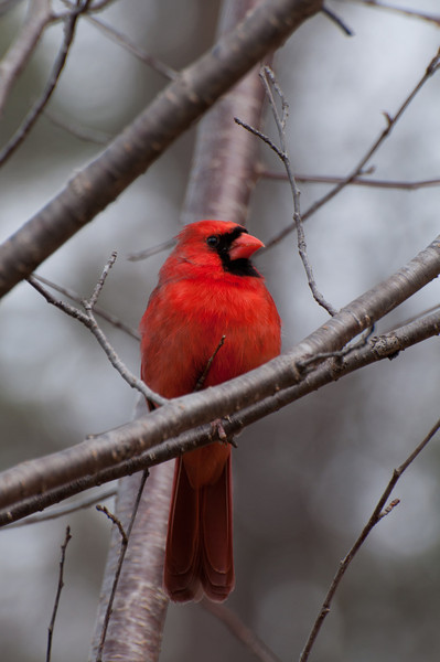 Cardinal<br /> best print size - 8x12 or 12x18