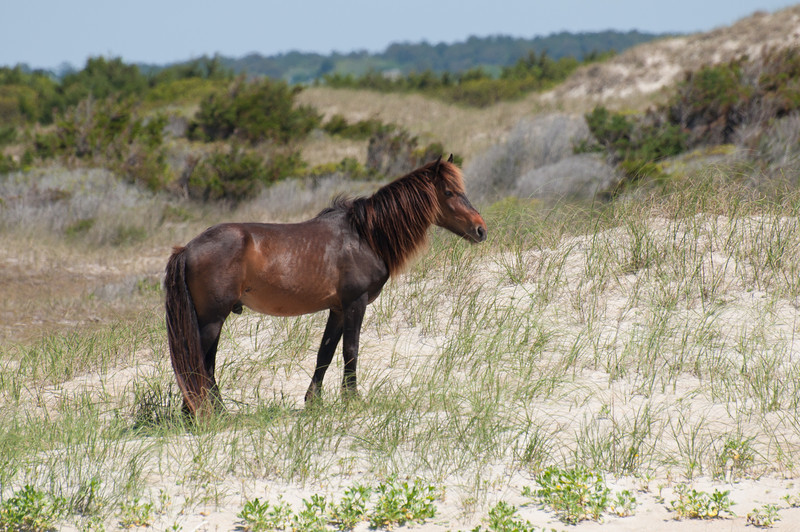 wild horse on the Outer Banks<br /> best print size - 8x12 or 12x18