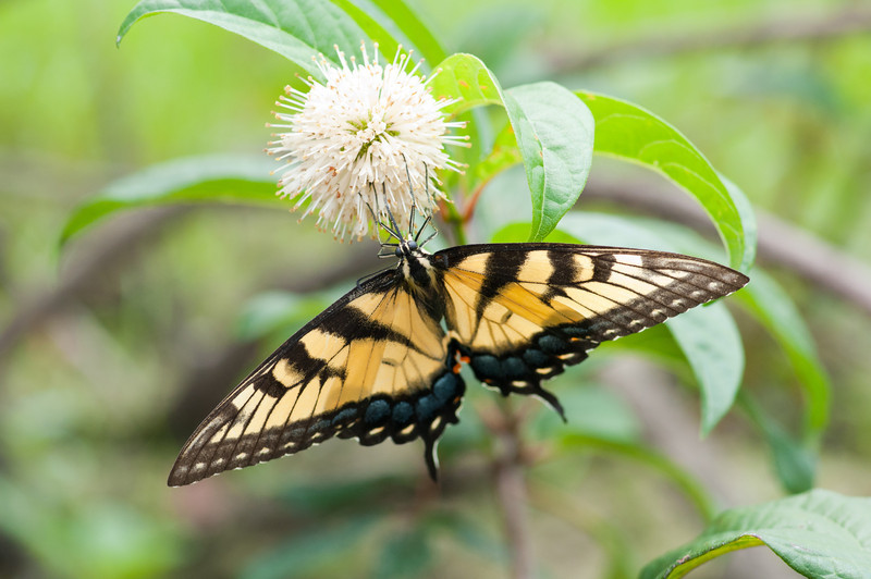 female eastern tiger swallowtail, Falls Lake.<br /> best print size - 8x12 or 12x18