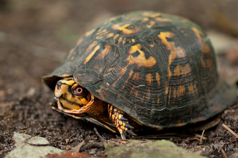 box turtle<br /> best print size - 8x12 or 12x18