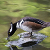 hooded merganser, Duke Gardens<br /> best print size - all