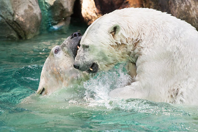 Polar fight