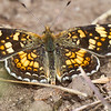 Checkerspot?  Bergan Peak SWA