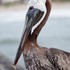 brown pelican<br /> best print size - 8x12 or 12x18