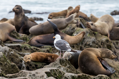 Seals and Seagull at La Jolla Cove
