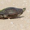 Turtle, Treamealeau NWR