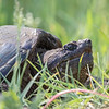 Snapping Turtle, Trempealeau NWR