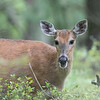 White-tailed Deer, Crex Meadows