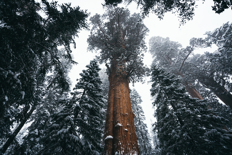 Mighty Sequoia