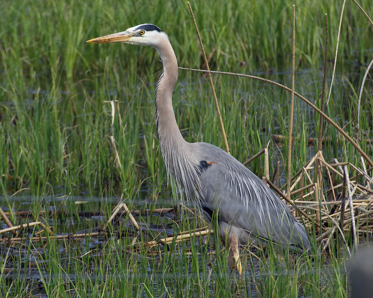 Great Blue Heron, Calgary, Alberta area