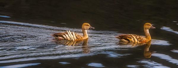 Plumed whistling ducks