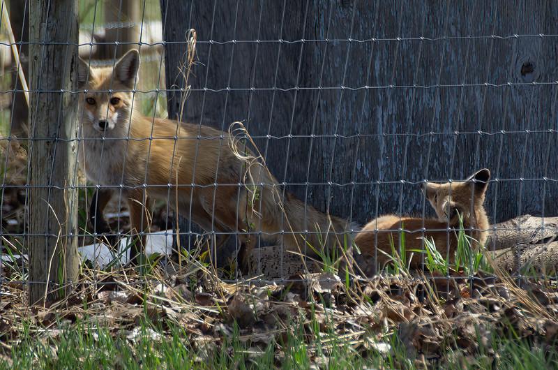 Momma Fox and kit