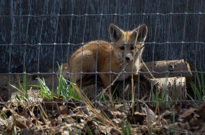 Alert red fox kit pup