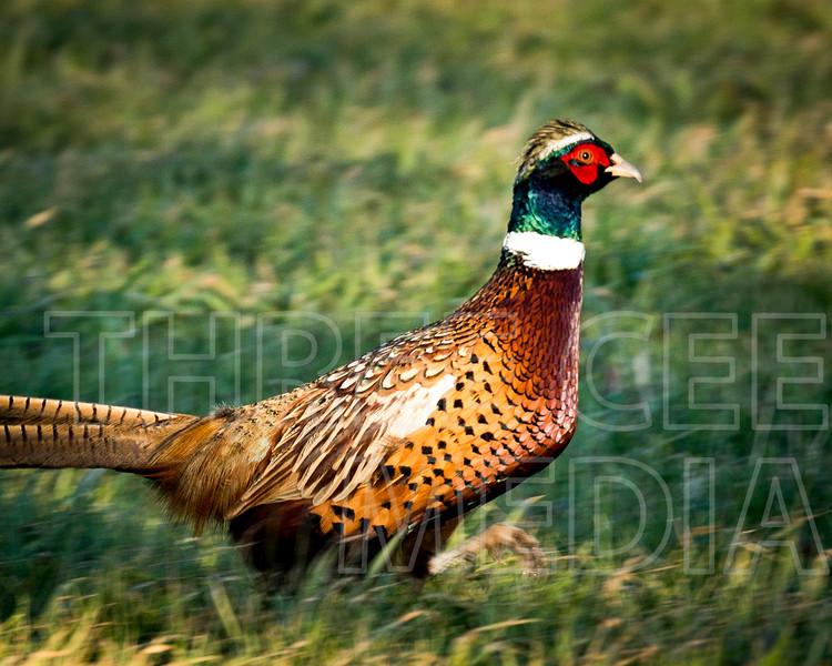 #pheasant