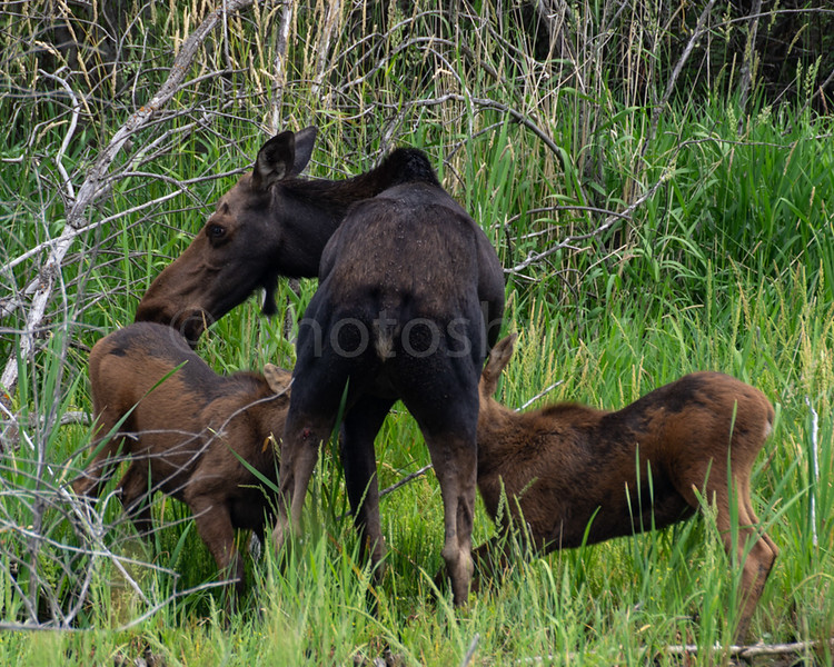 Momma Moose nursing Calves