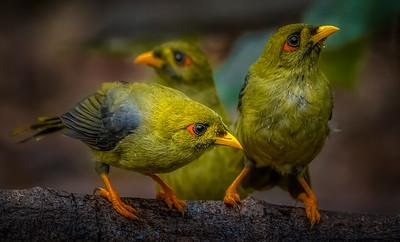Bellbirds
