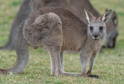 Eastern Gray Joey