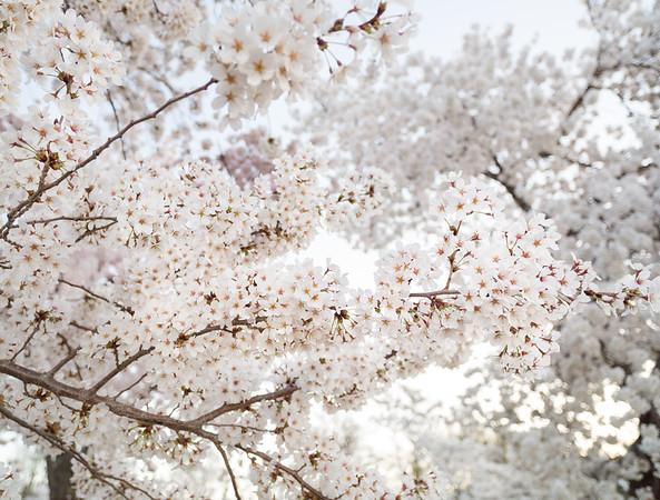 Cherry Blossoms - Washington, DC