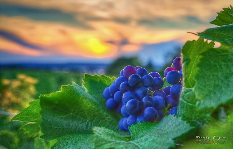 Grapes at sunset