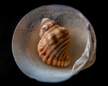 Seashell on the Half Shell