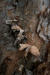 Tea TGree Bark Detail