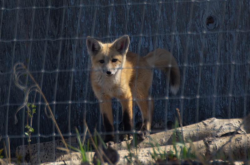 Fox pup 2021