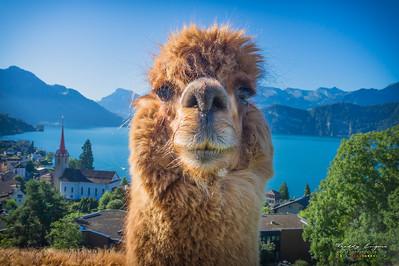 Amazing Llama