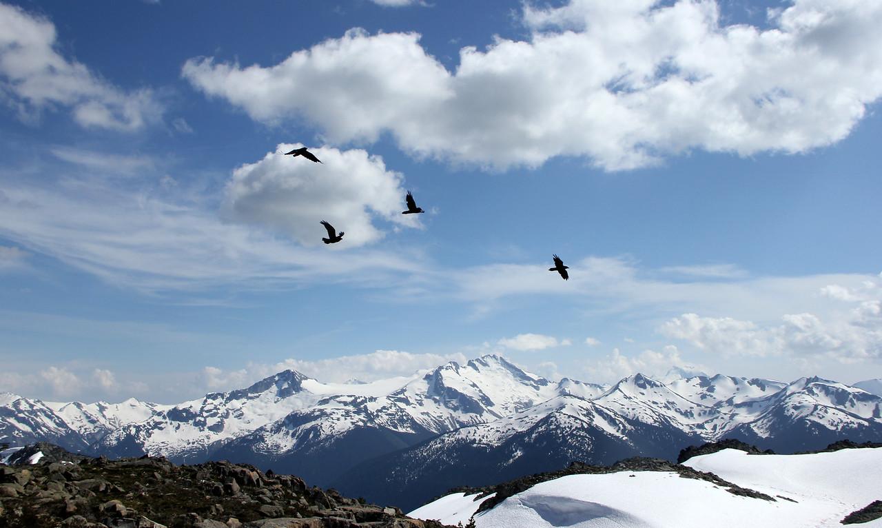 Ravens at Whistler