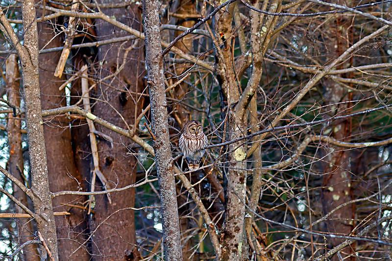 Barred Owl at Great Bay National Wildlife Refuge