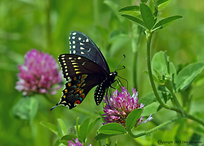 Butterflies & Skippers