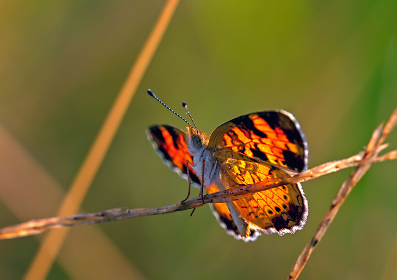 Northern Crescent Butterfly