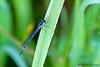 Female Eastern Forktail Damselfly