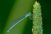 Female Eastern Forktail