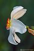 Actea Daffodils