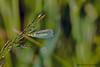 Geen Lacewing
