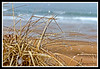 American Beachgrass at Plum Island