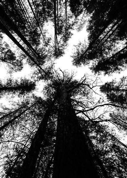 Tower Of Trees (Arizona)
