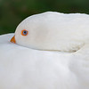 Pure White Swan (Arizona)
