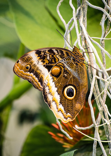 Butterfly Eyes (Arizona)