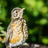 Baby Robin (New Mexico)