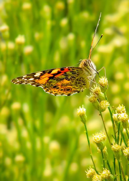 Butterfly Breakfast (Arizona)