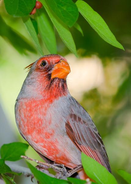Cardinal Colors (Arizona)