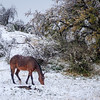 Wild Winter Grazing (Arizona)