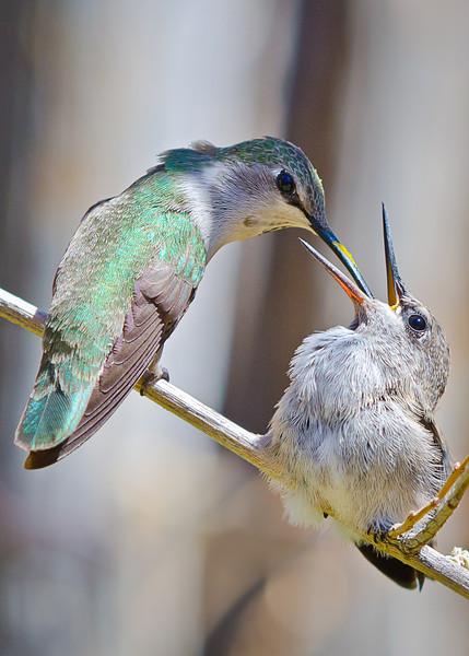 Hummingbird Feeder (Arizona)