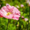 Pink Paper Petals (Arizona)
