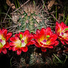 Night Blooming Cactus (Arizona)