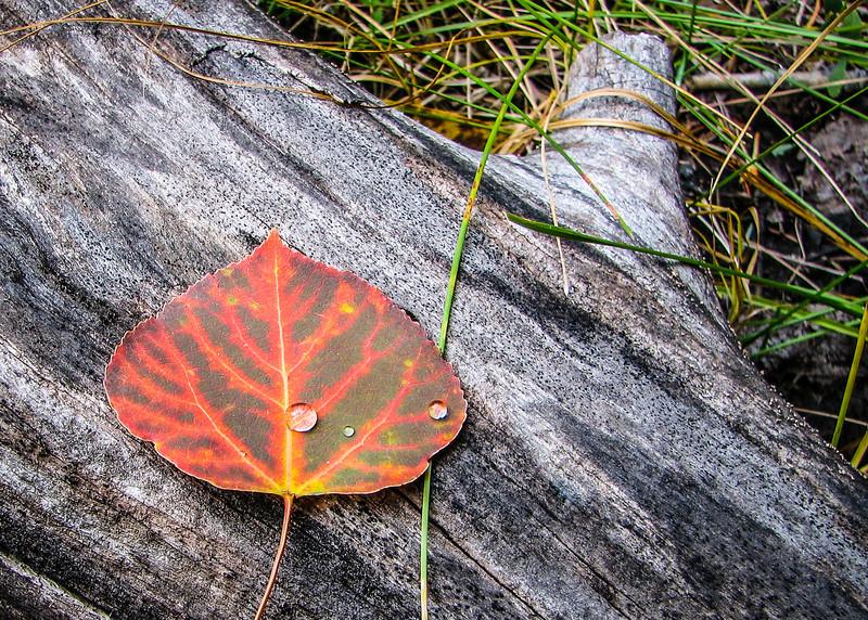 Lone Fall Leaf (Arizona)
