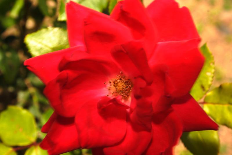 Pretty rose ~ garden