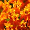 Butterfly Milkweed ~ Sherburne NWR